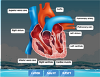 heart-diagram-labelled