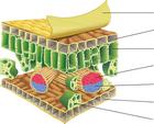 leaf-cross-section-diagram